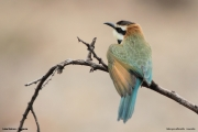 Merops_albicollis018.Lake_Natron.Tanzania.20.03.2013