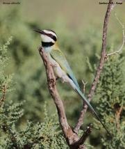 Merops_albicollis019.Samburu_N.R.Kenia.1.12.2014