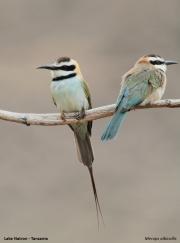 Merops_albicollis007.Lake_Natron.Tanzania.20.03.2013