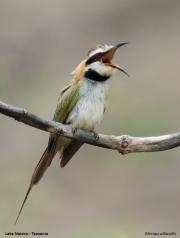 Merops_albicollis009.Lake_Natron.Tanzania.20.03.2013