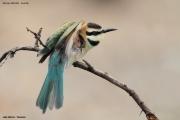 Merops_albicollis016.Lake_Natron.Tanzania.20.03.2013
