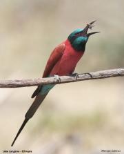 Merops_nubicus005.Okolice_Langano.Etiopia.22.11.2009