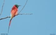 Merops_nubicus012.Lake_Baringo.Kenia.9.12.2014