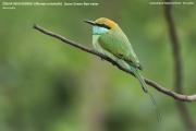 089.012.Merops orientalis001.Udawalawe NP.Sri Lanka.28.11.2018