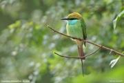 Merops orientalis014.Udawalawe NP.Sri Lanka.28.11.2018