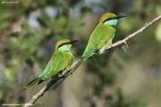 Merops orientalis017.Yala NP.Sri Lanka.1.12.2018