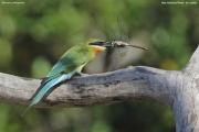 Merops_philippinus009.Yala_N.P.Sri_Lanka.1.12.2018