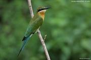 Merops_philippinus012.Bundala_N.P.Sri_Lanka.3.12.2018