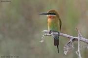 Merops_philippinus013.Bundala_N.P.Sri_Lanka.3.12.2018