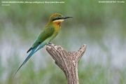 089.015.Merops_philippinus001.Bundala_N.P.Sri_Lanka.3.12.2018