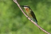 Merops_philippinus002.Udawalawe_N.P.Sri_Lanka.29.11.2018