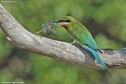 Merops_philippinus005.Yale_N.P.Sri_Lanka.1.12.2018