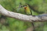 Merops_philippinus007.Yale_N.P.Sri_Lanka.1.12.2018