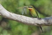 Merops_philippinus008.Yale_N.P.Sri_Lanka.1.12.2018