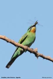 Merops_persicus007.Entebbe.Lake_Victoria.Uganda.26.11.2012