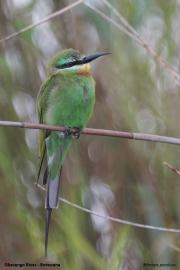 Merops_persicus010.Drotsky_Camp.Okavango.Botswana.27.02.2014