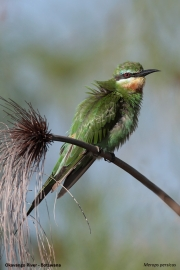 Merops_persicus012.Nguma_Camp.Okavango.Botswana.28.02.2014