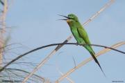 Merops_persicus014.Nguma_Camp.Okavango.Botswana.28.02.2014