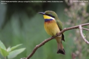 Merops_variegatus_loringi001.Mabamba_Swamp.Uganda.PJ.12.02.2011