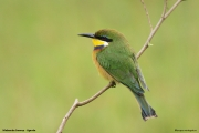 Merops_variegatus_loringi002.Mabamba_Swamp.Uganda.PJ.12.02.2011