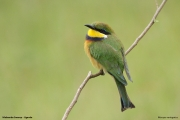 Merops_variegatus_loringi003.Mabamba_Swamp.Uganda.PJ.12.02.2011