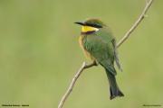 Merops_variegatus_loringi004.Mabamba_Swamp.Uganda.PJ.12.02.2011