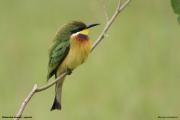 Merops_variegatus_loringi005.Mabamba_Swamp.Uganda.PJ.12.02.2011