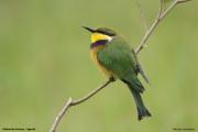 Merops_variegatus_loringi006.Mabamba_Swamp.Uganda.PJ.12.02.2011