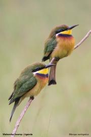 Merops_variegatus_loringi007.Mabamba_Swamp.Uganda.PJ.12.02.2011