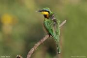 Merops_pusillus104.Negele.Etiopia.17.11.2009