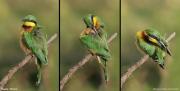Merops_pusillus105.Negele.Etiopia.17.11.2009