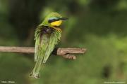 Merops_pusillus108.Yabelo.Etiopia.18.11.2009