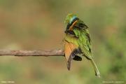 Merops_pusillus120.Yabelo.Etiopia.18.11.2009