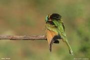 Merops_pusillus121.Yabelo.Etiopia.18.11.2009
