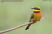 Merops_pusillus201.Lake_Manyara_N.P.Tanzania.18.03.2013