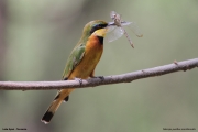 Merops_pusillus207.Lake_Eyasi.Tanzania.23.03.2013