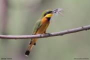 Merops_pusillus208.Lake_Eyasi.Tanzania.23.03.2013