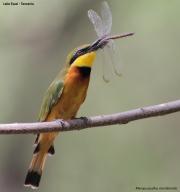 Merops_pusillus213.Lake_Eyasi.Tanzania.23.03.2013