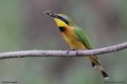 Merops_pusillus217.Lake_Eyasi.Tanzania.23.03.2013