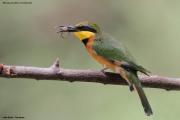 Merops_pusillus219.Lake_Eyasi.Tanzania.23.03.2013