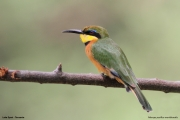 Merops_pusillus224.Lake_Eyasi.Tanzania.23.03.2013
