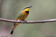 Merops_pusillus225.Lake_Eyasi.Tanzania.23.03.2013
