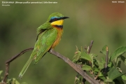 Merops_pusillus101.Yabelo.Etiopia.18.11.2009