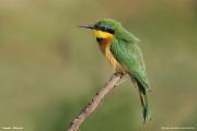 Merops_pusillus102.Negele.Etiopia.17.11.2009