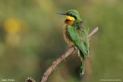 Merops_pusillus103.Negele.Etiopia.17.11.2009