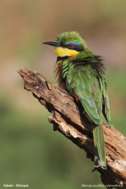 Merops_pusillus107.Yabelo.Etiopia.18.11.2009