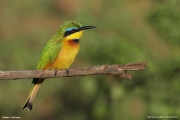 Merops_pusillus110.Yabelo.Etiopia.18.11.2009