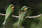Merops_pusillus122.Yabelo.Etiopia.18.11.2009
