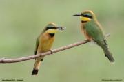 Merops_pusillus202.Lake_Manyara_N.P.Tanzania.18.03.2013