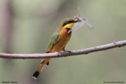 Merops_pusillus203.Lake_Eyasi.Tanzania.23.03.2013